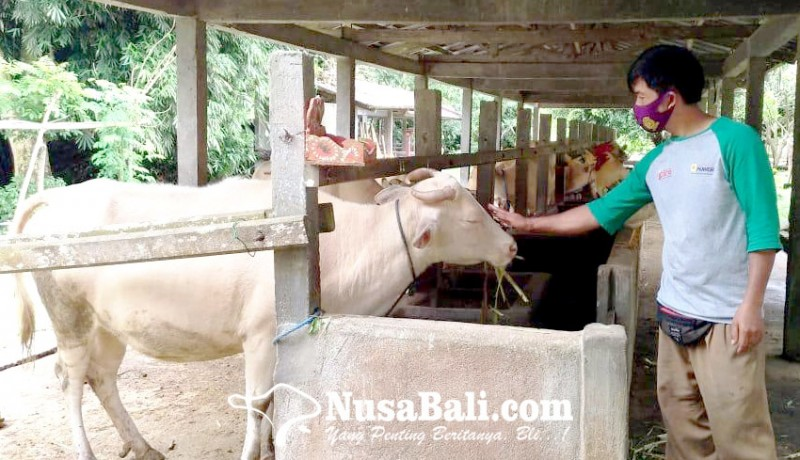 www.nusabali.com-sapi-putih-taro-rindu-wisatawan