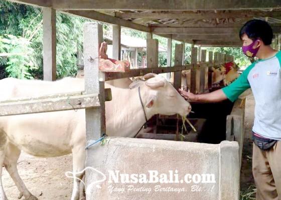 Nusabali.com - sapi-putih-taro-rindu-wisatawan