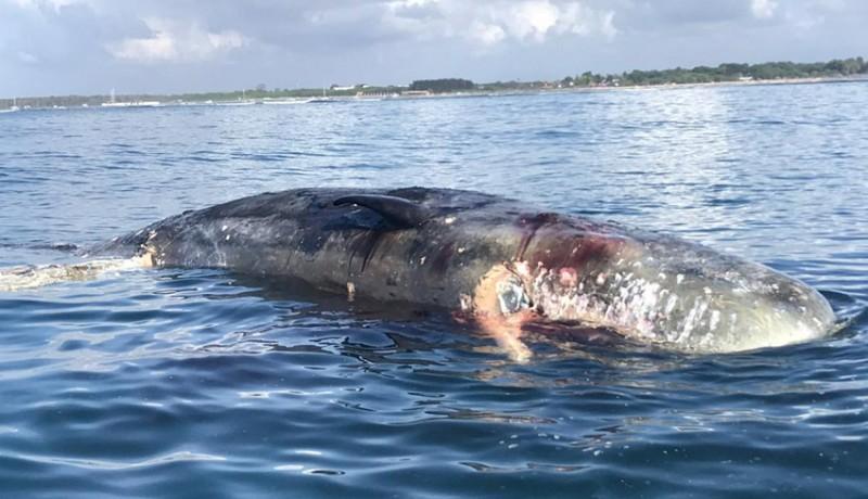 www.nusabali.com-ikan-paus-seberat-2-ton-mengapung-di-lepas-pantai-mertasari
