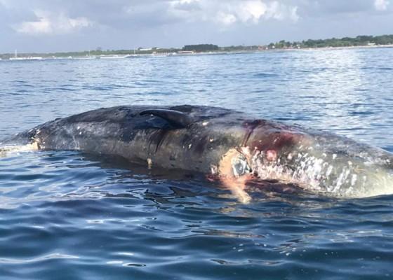 Nusabali.com - ikan-paus-seberat-2-ton-mengapung-di-lepas-pantai-mertasari