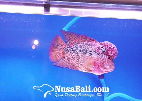Nusabali.com - ini-empat-cara-mudah-merawat-ikan-louhan