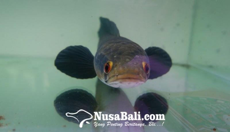 www.nusabali.com-ikan-gabus-jadi-ikan-hias-ada-komunitasnya-lho