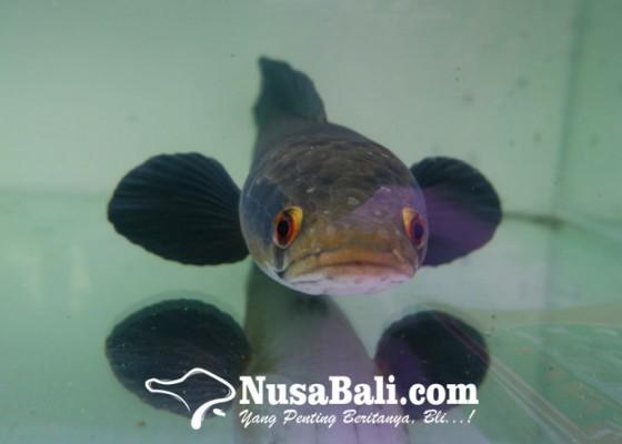 Nusabali.com - ikan-gabus-jadi-ikan-hias-ada-komunitasnya-lho