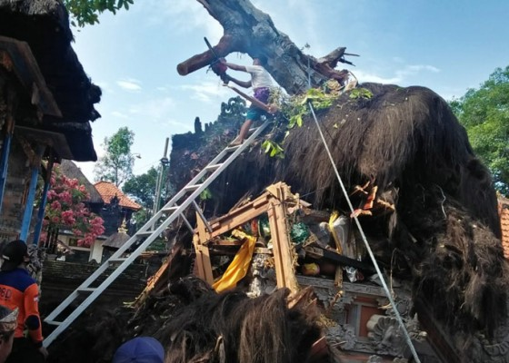 Nusabali.com - pohon-tumbang-timpa-palinggih-pura-kahyangan-tiga-desa-adat-pikah