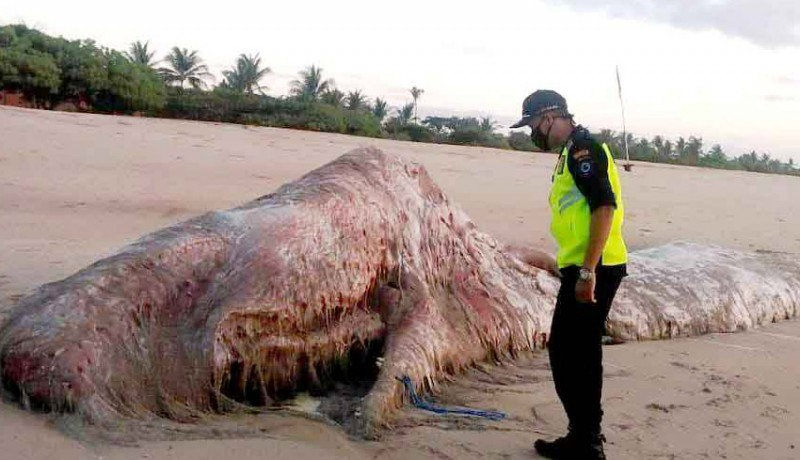 www.nusabali.com-paus-sperma-ditemukan-membusuk-di-pantai-bengiat-nusa-dua