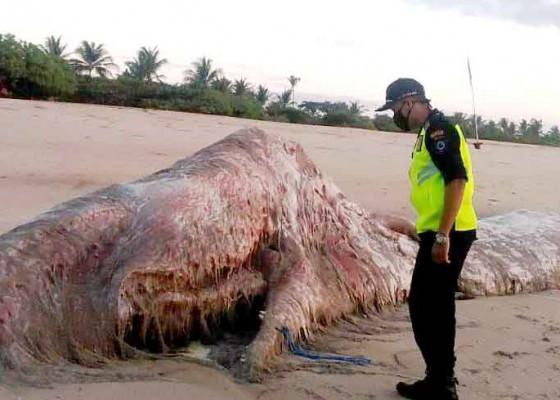 Nusabali.com - paus-sperma-ditemukan-membusuk-di-pantai-bengiat-nusa-dua