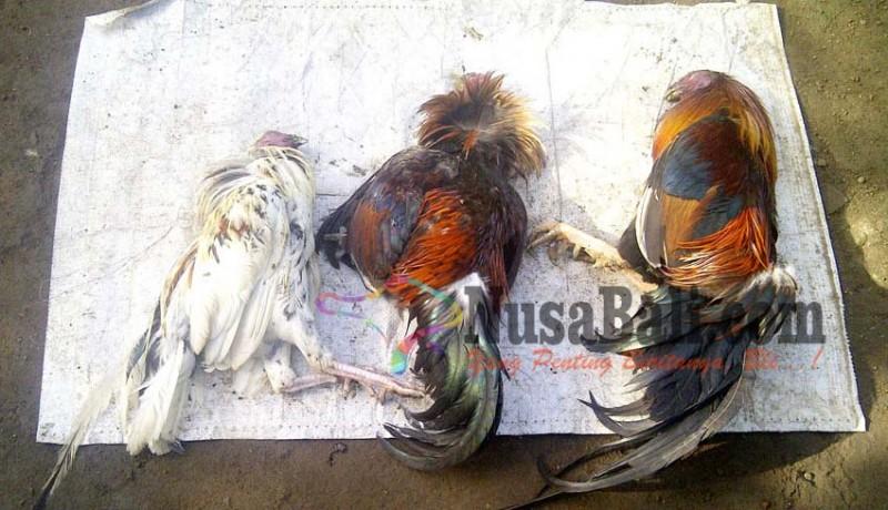 www.nusabali.com-ratusan-ayam-mati-mendadak