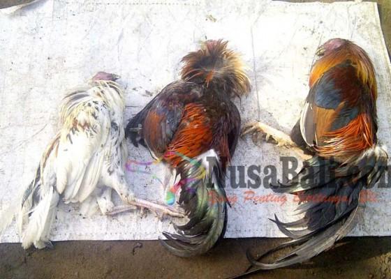 Nusabali.com - ratusan-ayam-mati-mendadak
