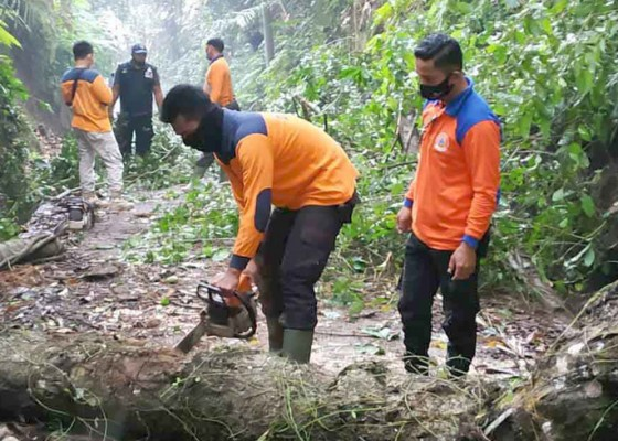 Nusabali.com - diguyur-hujan-pohon-waru-tumbang