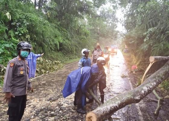 Nusabali.com - pohon-tumbang-tutup-jalan-kerta