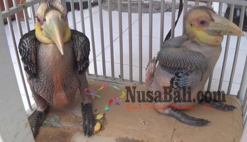 www.nusabali.com-polisi-gagalkan-upaya-penyelundupan-burung-rangkong