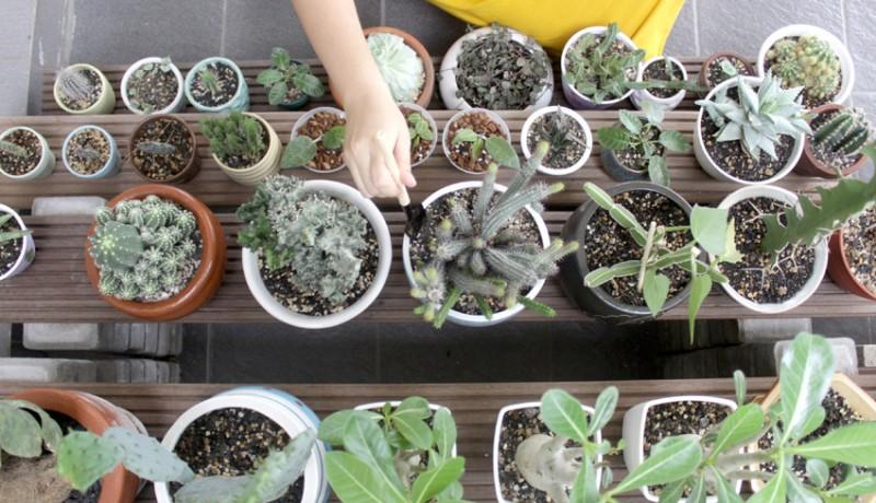 www.nusabali.com-tanaman-kaktus-mini
