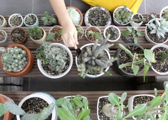 Nusabali.com - tanaman-kaktus-mini