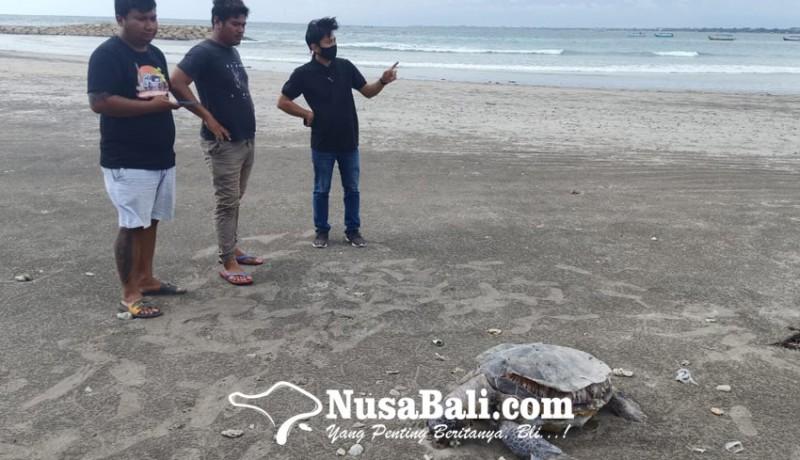 www.nusabali.com-penyu-hijau-ditemukan-mati-dengan-senar-di-leher