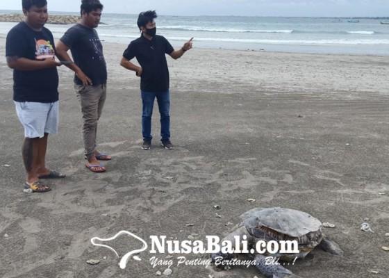 Nusabali.com - penyu-hijau-ditemukan-mati-dengan-senar-di-leher
