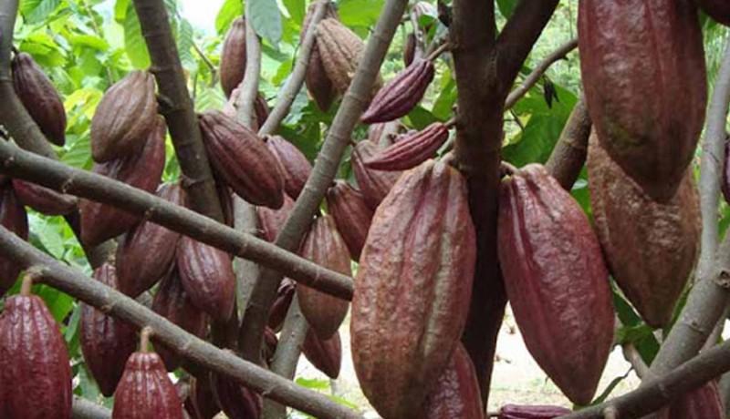 www.nusabali.com-bi-dorong-kakao-jembrana-jadi-komoditas-primadona