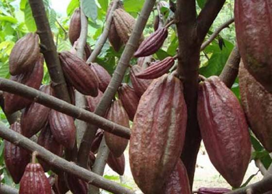 Nusabali.com - bi-dorong-kakao-jembrana-jadi-komoditas-primadona