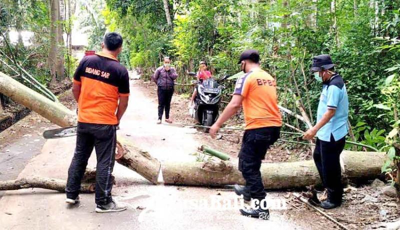 www.nusabali.com-pohon-kepuh-tumbang-tutup-jalan-di-desa-bugbug