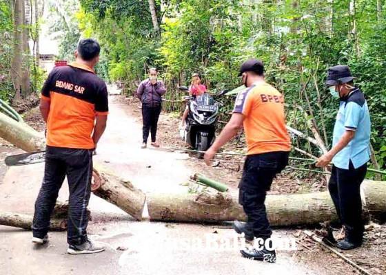 Nusabali.com - pohon-kepuh-tumbang-tutup-jalan-di-desa-bugbug