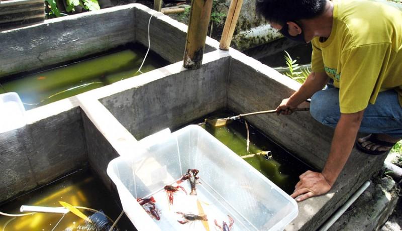 www.nusabali.com-budidaya-lobster-air-tawar