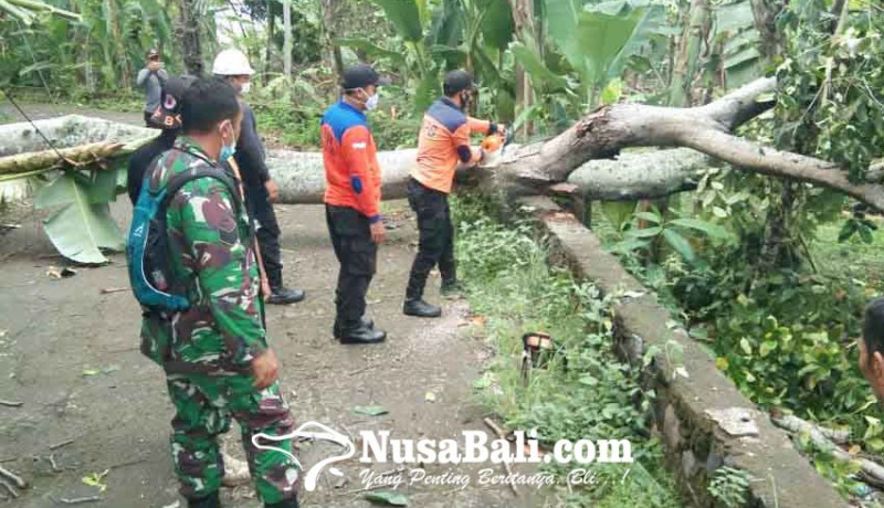 www.nusabali.com-pohon-intaran-tumbang-lalu-lintas-tersendat