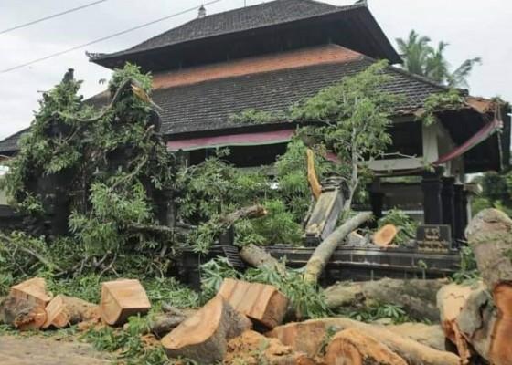 Nusabali.com - kepuh-di-tulikup-tumbang-timpa-panyengker-pura