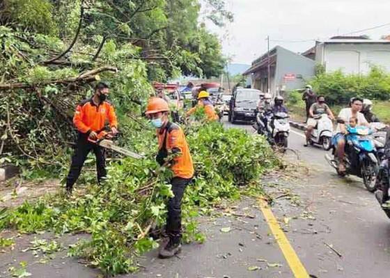 Nusabali.com - sehari-terjadi-tiga-pohon-tumbang-ada-timpa-kabel-listrik