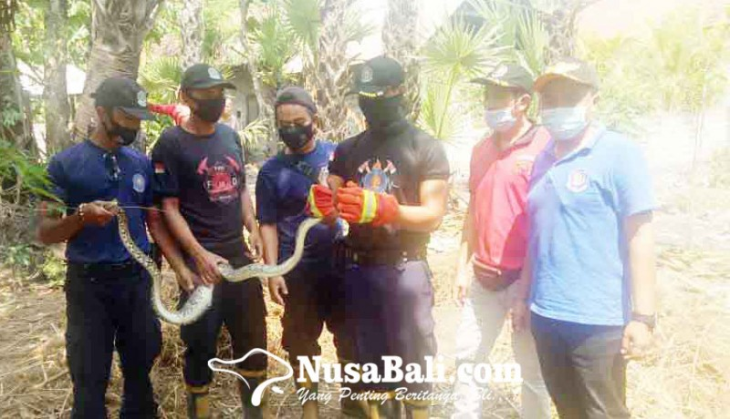 www.nusabali.com-petugas-damkar-tangkap-ular-piton-dan-ular-sawah