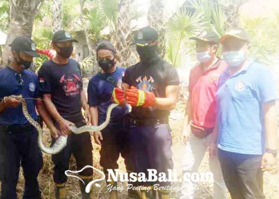 Nusabali.com - petugas-damkar-tangkap-ular-piton-dan-ular-sawah