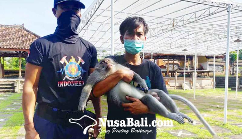 www.nusabali.com-petugas-gabungan-tangkap-kera-ekor-panjang