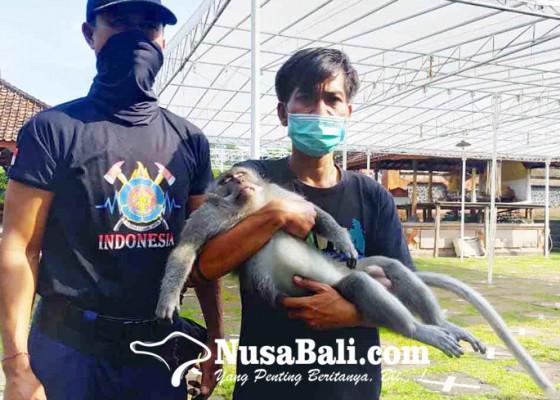 Nusabali.com - petugas-gabungan-tangkap-kera-ekor-panjang