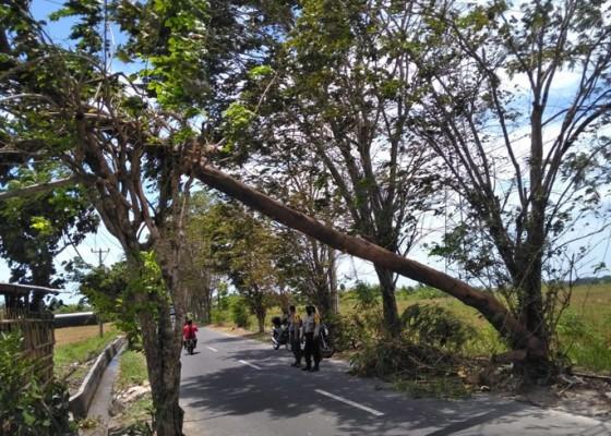 Nusabali.com - angin-kencang-pohon-tumbang-di-11-titik-di-badung