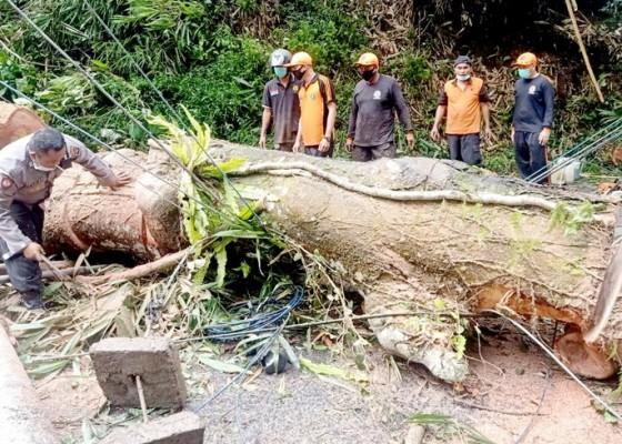 Nusabali.com - angin-kencang-pohon-bertumbangan-di-tabanan