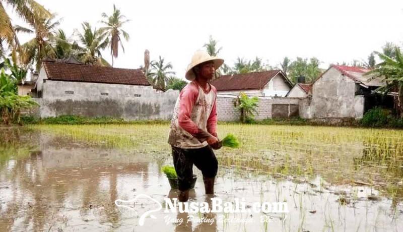 www.nusabali.com-pilih-bertani-tunggu-reda-pandemi