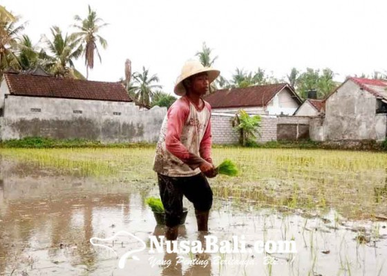Nusabali.com - pilih-bertani-tunggu-reda-pandemi