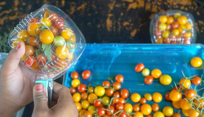 www.nusabali.com-potensi-tomat-ceri