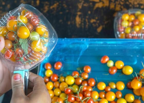 Nusabali.com - potensi-tomat-ceri