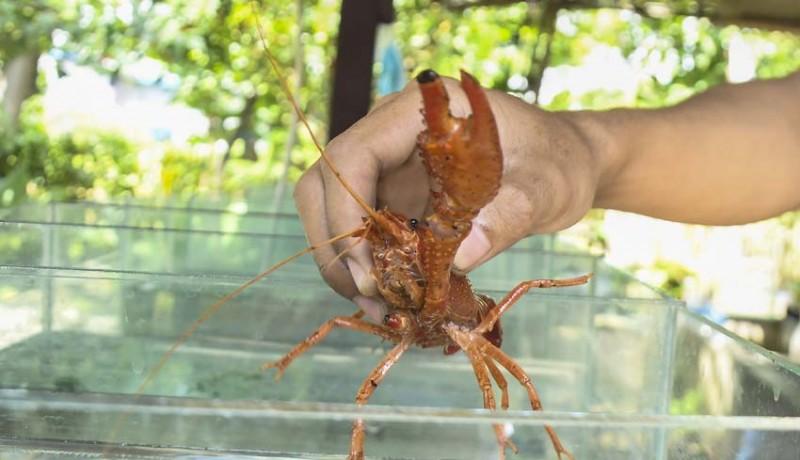 www.nusabali.com-budidaya-lobster-hias