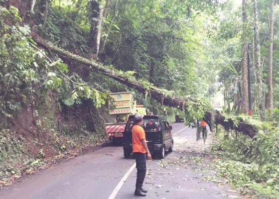 Nusabali.com - pohon-tumbang-tutup-setengah-badan-jalan-arus-lalin-terganggu