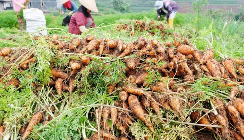 www.nusabali.com-kualitas-wortel-menurun-akibat-curah-hujan-tinggi