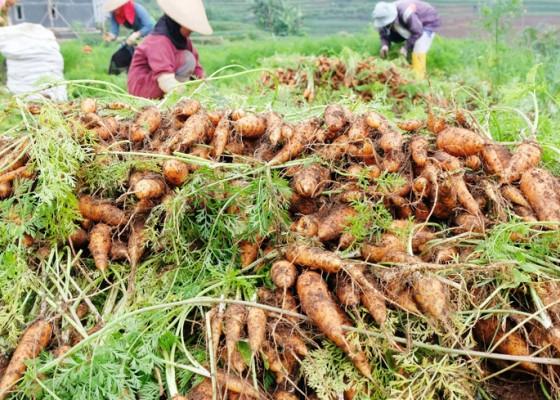 Nusabali.com - kualitas-wortel-menurun-akibat-curah-hujan-tinggi