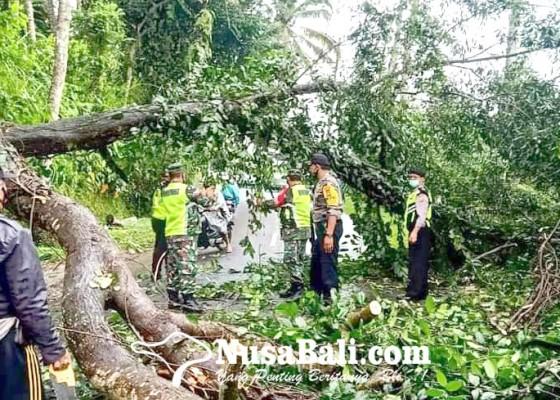 Nusabali.com - akasia-tumbang-kemacetan-hingga-15-kilometer