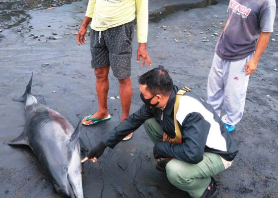 Nusabali.com - bangkai-lumba-lumba-terdampar-di-pantai-rambut-siwi