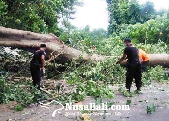 Nusabali.com - pohon-tumbang-tutup-akses-objek-tirtagangga