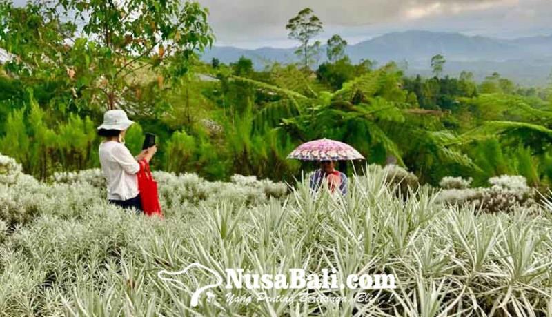 www.nusabali.com-bunga-padang-kasna-pesona-kaum-selfie