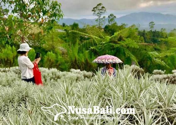 Nusabali.com - bunga-padang-kasna-pesona-kaum-selfie