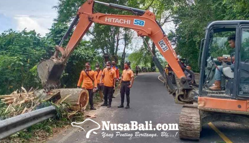 www.nusabali.com-evakuasi-pohon-tumbang-bpbd-pinjam-ekskavator