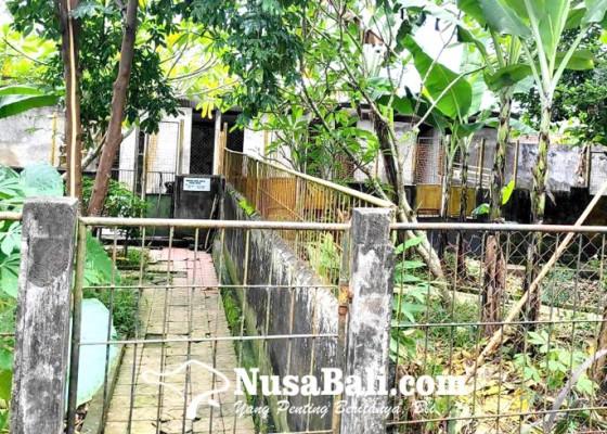 Nusabali.com - indukan-anjing-kintamani-perlu-peremajaan