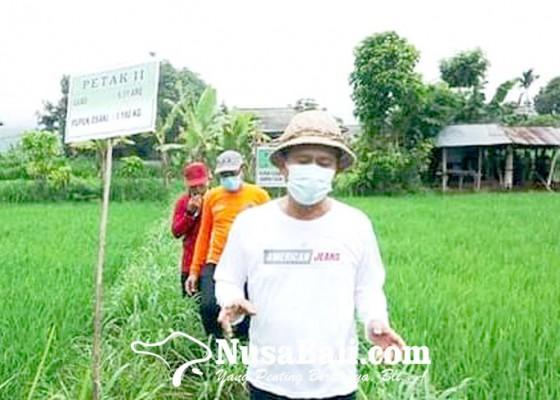Nusabali.com - pupuk-organik-toss-diuji-coba-di-sawah