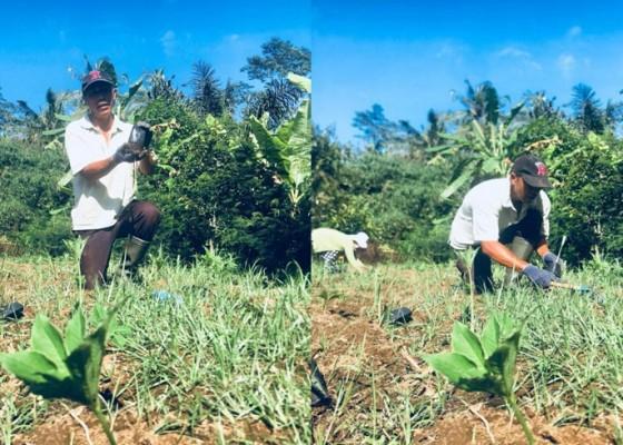 Nusabali.com - tanaman-porang-komoditas-menjanjikan-ditengah-pandemi